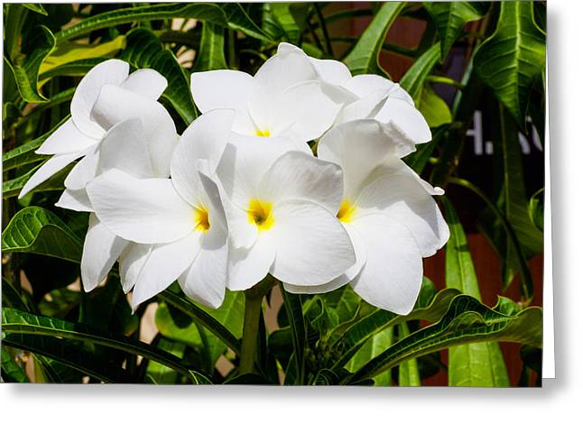 Charlotte Greeting Cards - Frangipani Freshness Greeting Card by Diane Macdonald