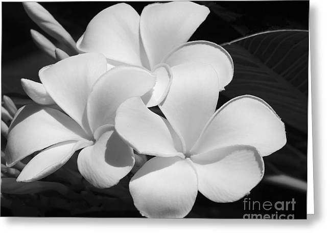 Florida Flowers Greeting Cards - Frangipani in Black and White Greeting Card by Sabrina L Ryan
