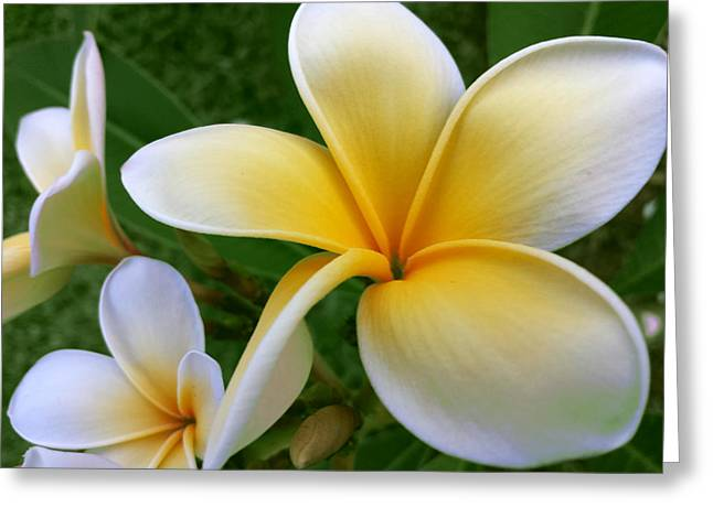 Flower Photos Tapestries - Textiles Greeting Cards - Frangipani Greeting Card by Suzi Freeman