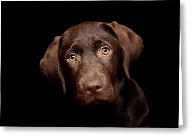 Chocolate Lab Greeting Cards - Frank Greeting Card by Gary Brookshaw