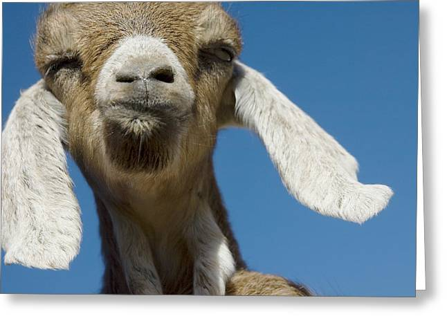 Funny Face Greeting Cards - Frankly My Dear I Dont Give A BAAAAAAAAA Greeting Card by Jerry McElroy
