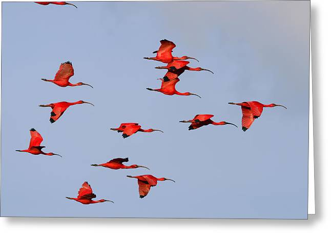 Mangrove Forest Greeting Cards - Frankly Scarlet Greeting Card by Tony Beck