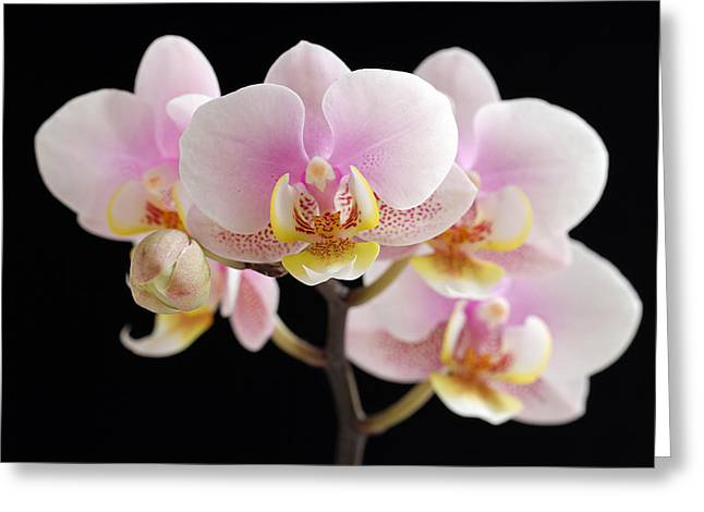 Orchid Canvas Greeting Cards - Freckled Bloom Greeting Card by Juergen Roth