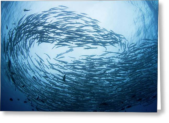 Free Diver In School Of Barracuda Greeting Card by Scubazoo