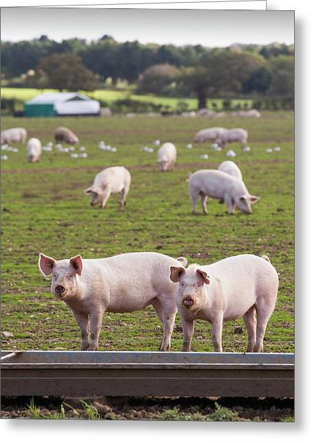 Free Range Pigs On A Farm Greeting Card by Ashley Cooper