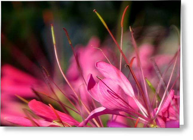 Free Spirit Cleome Greeting Card by France Laliberte