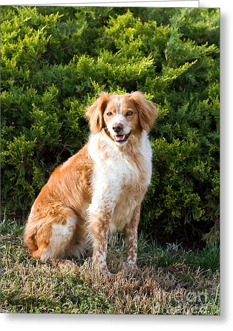 Setter Pointer Greeting Cards - French Brittany Spaniel Greeting Card by Steven Frame