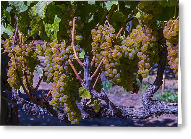 Grape Vineyard Greeting Cards - French Colombard Wine Grapes Greeting Card by Garry Gay