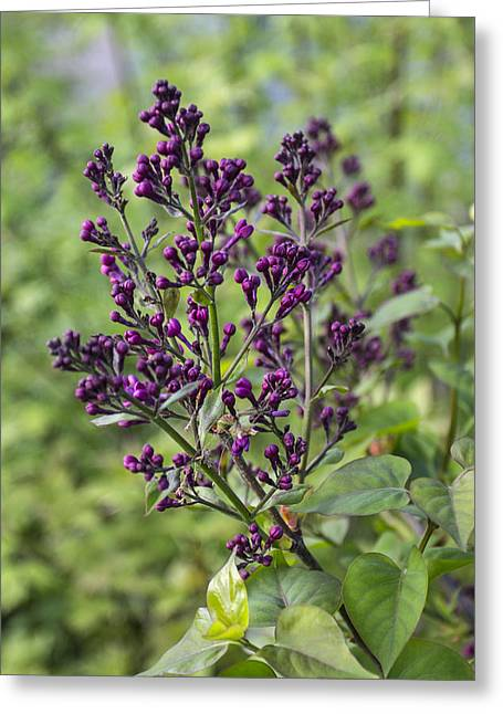 Persuade Greeting Cards - French Lilac Greeting Card by Patsy Zedar