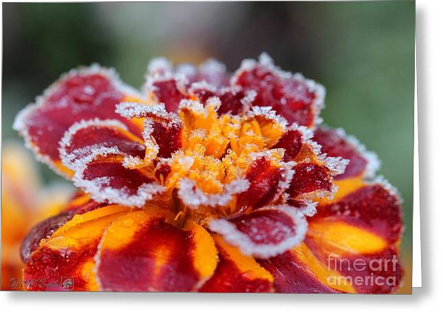 Mccombie Greeting Cards - French Marigold named Durango Red Outlined with Frost Greeting Card by J McCombie