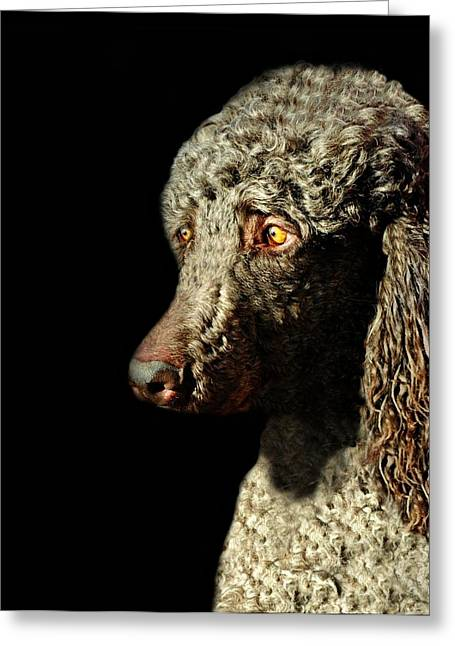 Disposition Greeting Cards - French Poodle Standard Greeting Card by Diana Angstadt