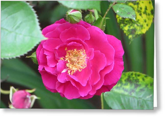 Appreciation Of Art Greeting Cards - French ROSE Greeting Card by Sonali Gangane