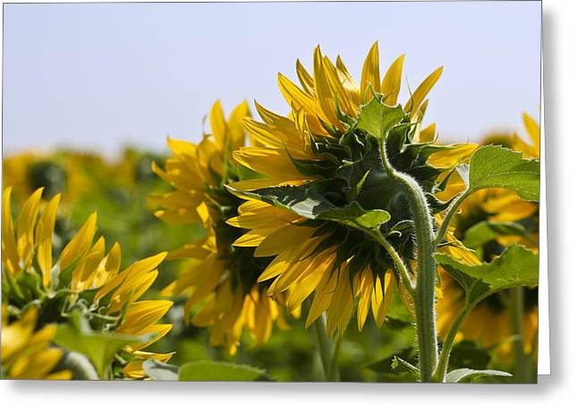 French Open Greeting Cards - French Sunflowers Greeting Card by Nomad Art And  Design