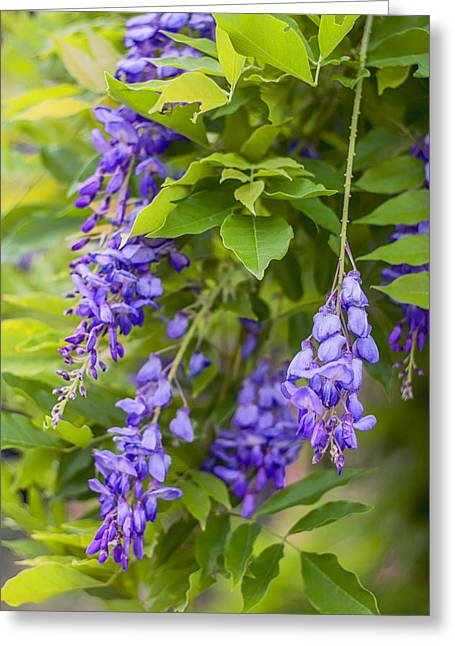 Vine Leaves Greeting Cards - French Wysteria Greeting Card by Nomad Art And  Design