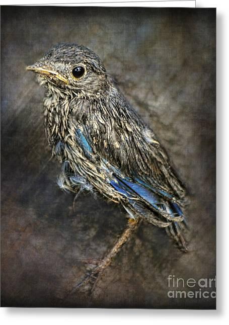 Baby Bird Greeting Cards - Fresh From The Nest - Baby Bluebird Greeting Card by Jai Johnson