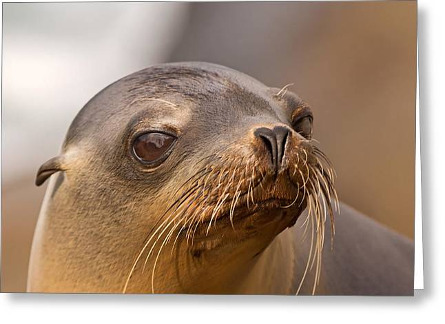 California Sea Lions Greeting Cards - Fresh from the Ocean Greeting Card by Theo OConnor