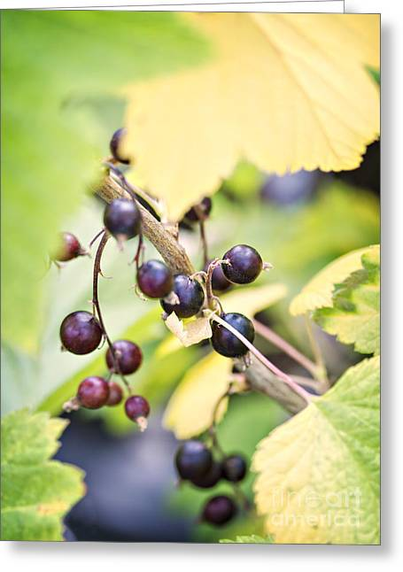 Wild Orchards Photographs Greeting Cards - Fresh organic blackcurrents Greeting Card by Sophie McAulay