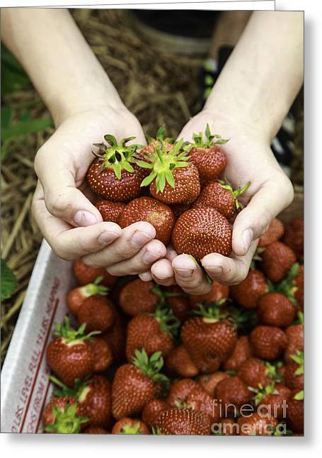 Fresh Greeting Cards - Fresh picked strawberries Greeting Card by Edward Fielding