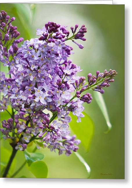 Lilac Greeting Cards - Fresh Purple Lilac Flowers Greeting Card by Christina Rollo