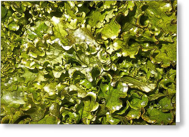 Romaine Greeting Cards - Fresh Romaine Greeting Card by Sherry Dooley
