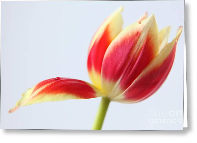 Most Photographs Greeting Cards - Fresh Tulip Flower 2 Greeting Card by Eden Baed