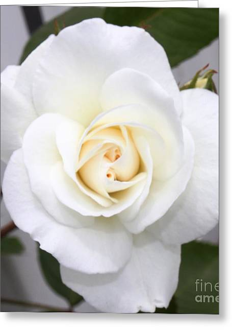 Fresh White Rosebud Greeting Card by French Toast