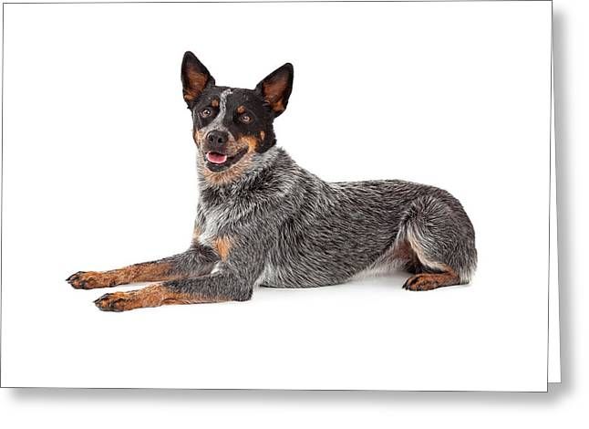Smiling Animals Greeting Cards - Friendly Australian Cattle Dog Laying Greeting Card by Susan  Schmitz