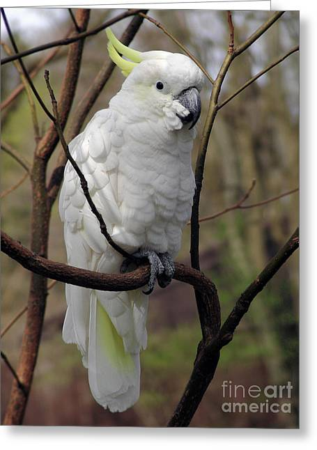Pretty Cockatoo Greeting Cards - Friendly Cockatoo Greeting Card by Judy Whitton