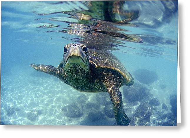 Aqua Greeting Cards - friendly Hawaiian sea turtle  Greeting Card by Sean Davey