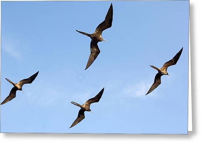 Frigatebirds In Flight Greeting Card by Daniel Sambraus