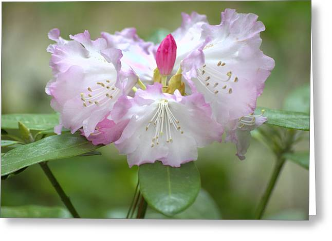 Frilly Pinks Greeting Card by Diego Re
