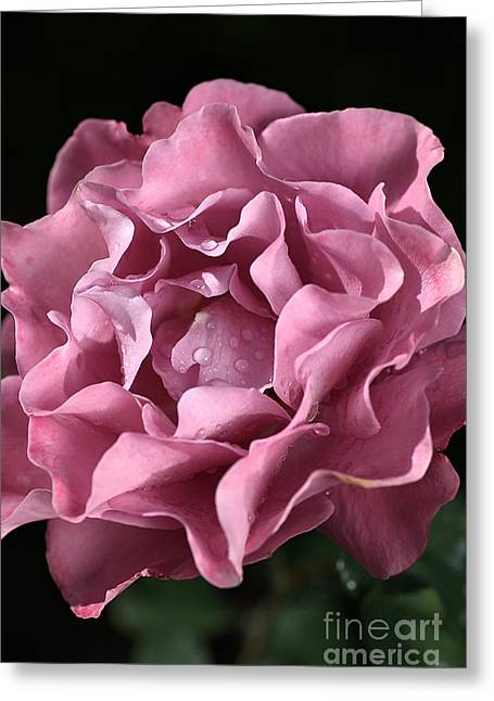 Frilly Rose Greeting Card by Joy Watson