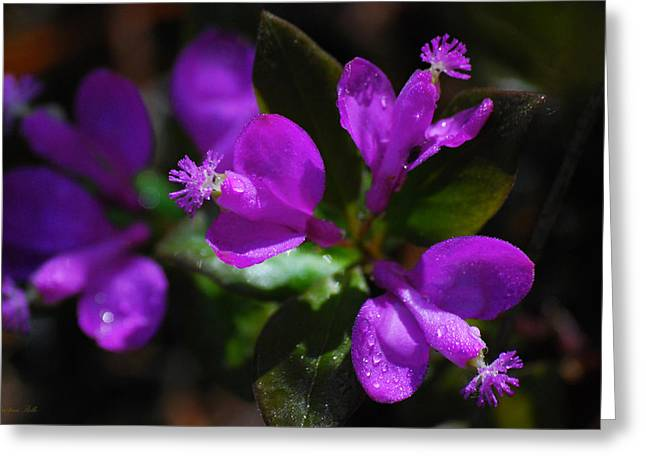 Purple. Wild Orchid Greeting Cards - Fringed Polygala Greeting Card by Christina Rollo