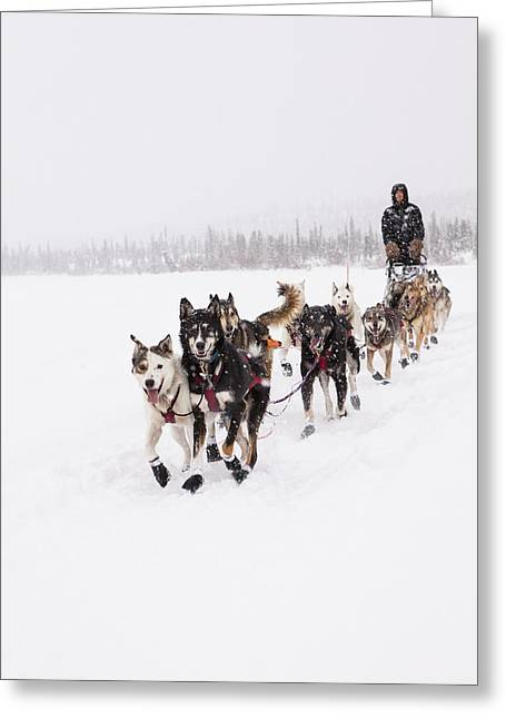 Dog Sled Racing Greeting Cards - Frisky Lead Dogs Greeting Card by Tim Grams