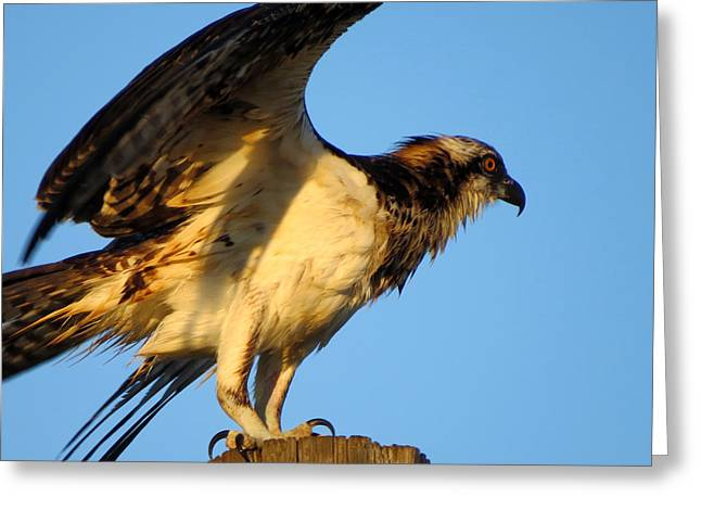 East Dennis Greeting Cards - Frisky Osprey Youth Greeting Card by Dianne Cowen