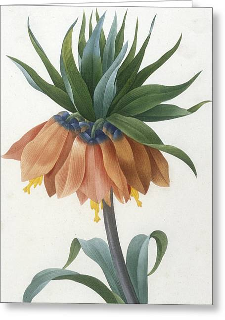 Floral Posters Greeting Cards - Fritillaire Imperiale Greeting Card by Pierre Joseph Redoute