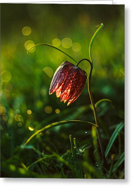 Meleagris Photographs Greeting Cards - Fritillaria meleagris Greeting Card by Davorin Mance