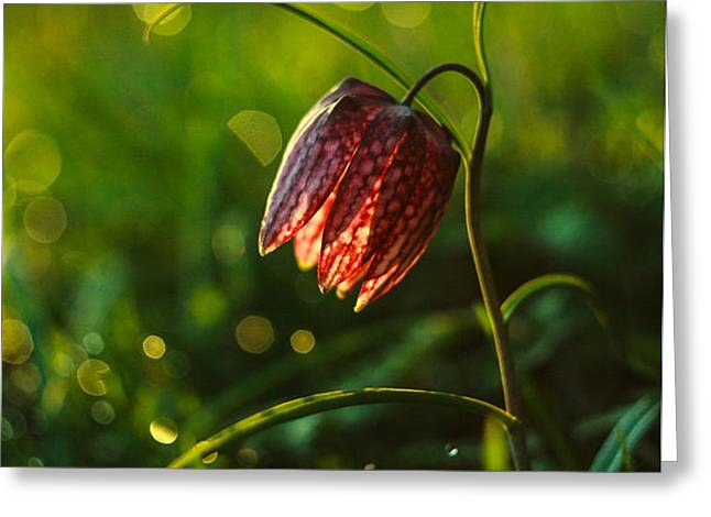Fritillaria meleagris Greeting Card by Davorin Mance