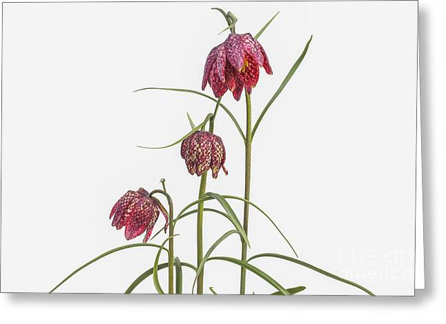 Fritillaria Greeting Cards - Fritillaria Meleagris on white Greeting Card by Patricia Hofmeester