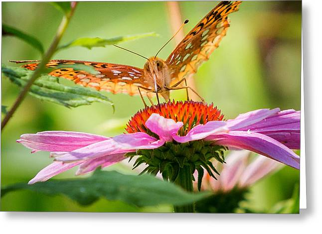 Perennial Greeting Cards - Fritillary Butterfly Greeting Card by Bill  Wakeley