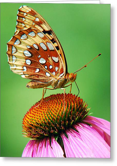 Fritillary Butterfly Greeting Card by Christina Rollo