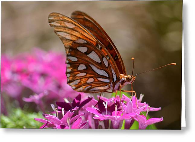 Ruth Housley Greeting Cards - Gulf Fritillary Butterfly Greeting Card by Ruth  Housley