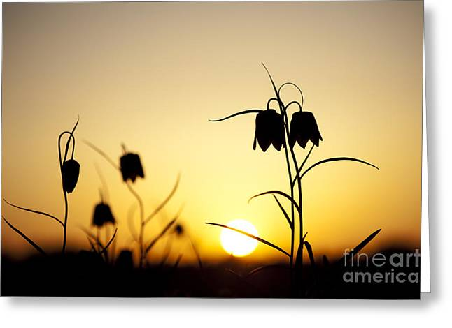 Fritillaria Greeting Cards - Fritillary Flower Sunset Greeting Card by Tim Gainey