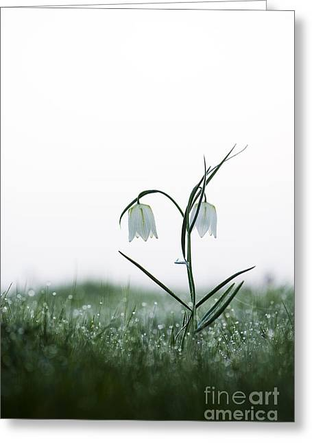 Morning Dew Greeting Cards - Fritillary in the Mist Greeting Card by Tim Gainey
