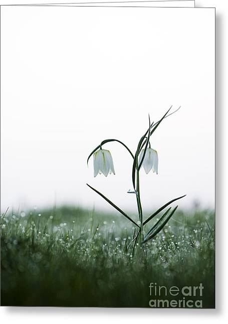 Fritillaria Greeting Cards - Fritillary in the Mist Greeting Card by Tim Gainey