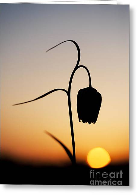 Liliaceae Greeting Cards - Fritillary Sunset Greeting Card by Tim Gainey