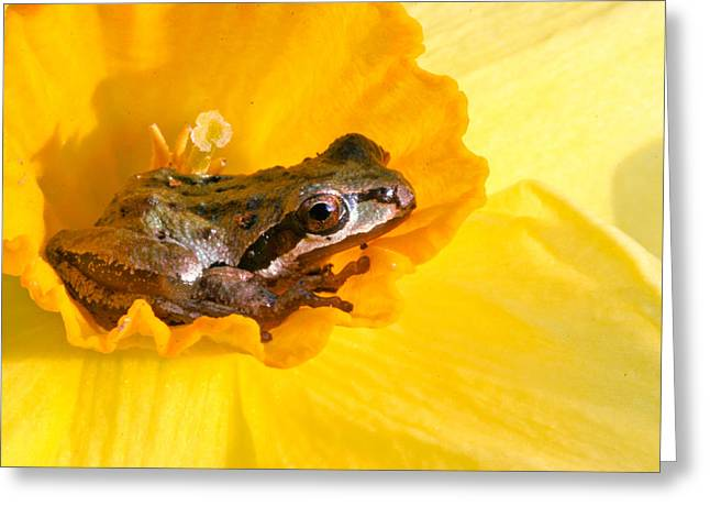 Toe Pad Greeting Cards - Frog and daffodil Greeting Card by Jean Noren