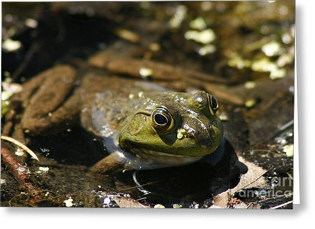 Brown Frog Greeting Cards - Frog Greeting Card by Cindi Ressler