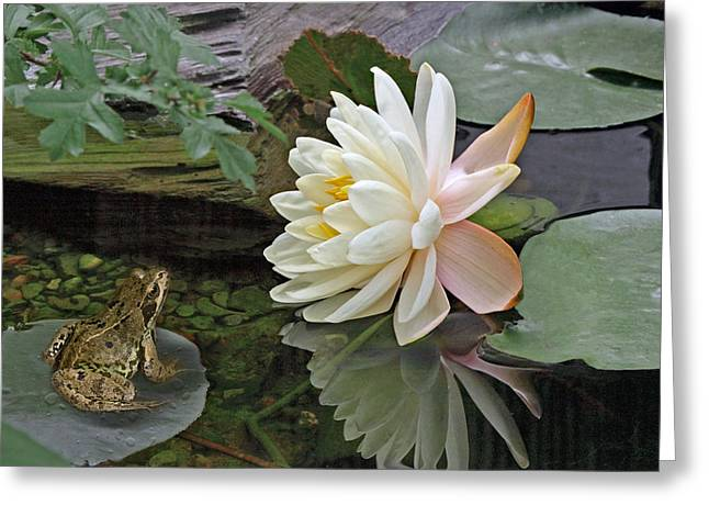 White Waterlily Greeting Cards - Frog In Awe of White Water Lily Greeting Card by Gill Billington