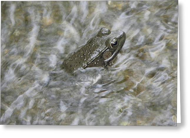 Cim Paddock Greeting Cards - Frog in rippling water Greeting Card by Cim Paddock